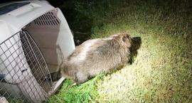 Zmęczony bóbr zasnął w nocy z niedzieli na poniedziałek na środku chodnika róg Odyńca i Puławskiej